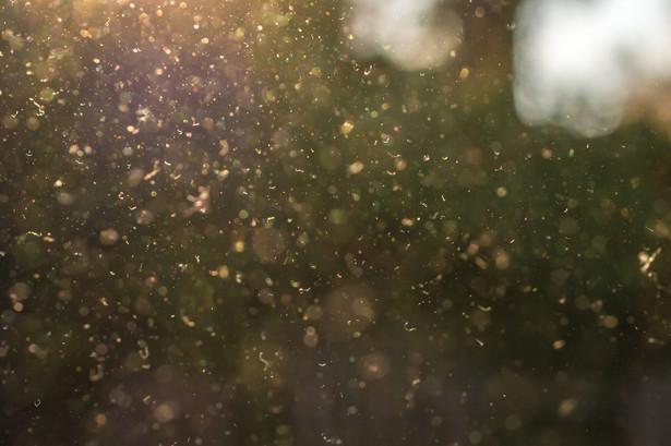 Według badaczy wysokie stężenie pyłków może zwiększać ryzyko wystąpienia koronawirusa.