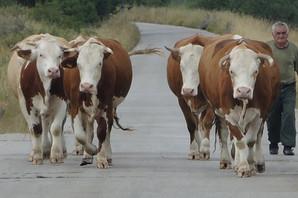 AGRESIVNA TELAD I UNEZVERENE KOKOŠKE Kako sve ZLOSTAVLJAJU ŽIVOTINJE na farmama širom Evrope