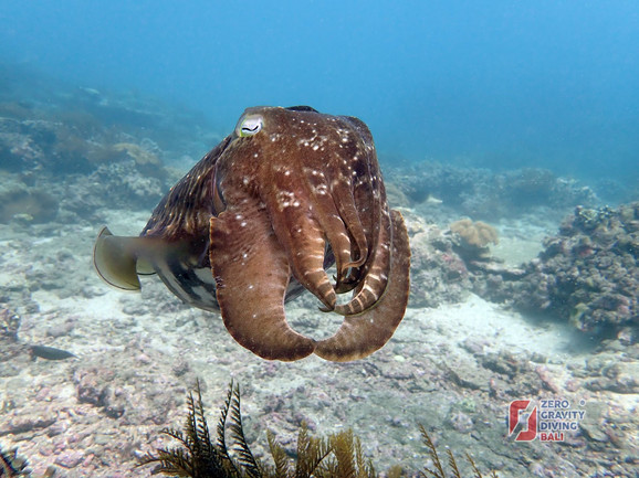 Pod vodom oko njega plivaju i sipe