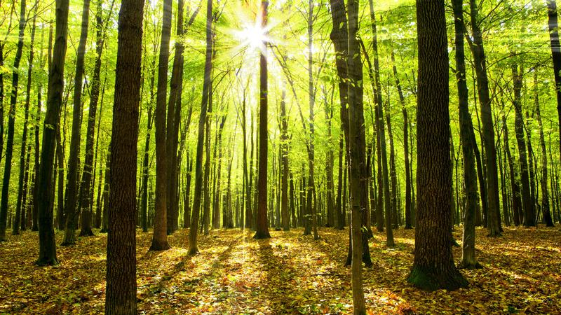 Na świecie jest ponad 60 tysięcy gatunków drzew