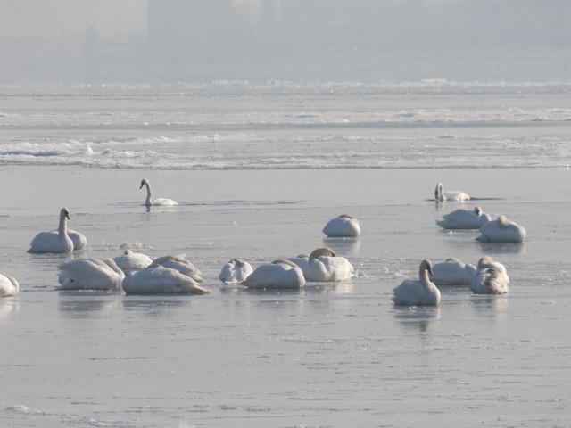 Labudovi zaleđeni u ledu na Dunavu