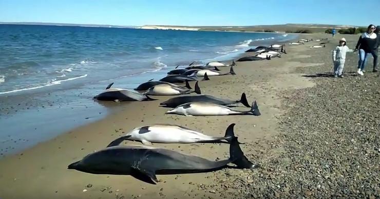 nasukani delfini