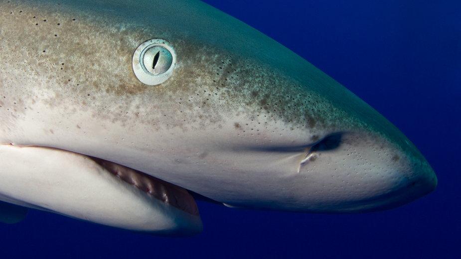 Żarłacz białopłetwy (Carcharhinus longimanus)