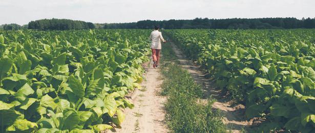 Dekadę temu z uprawy tytoniu żyło niemal 12 tys. rolników. Obecnie ok. pięciu tysięcy