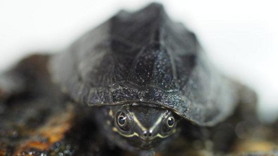 Żółw piżmowy
