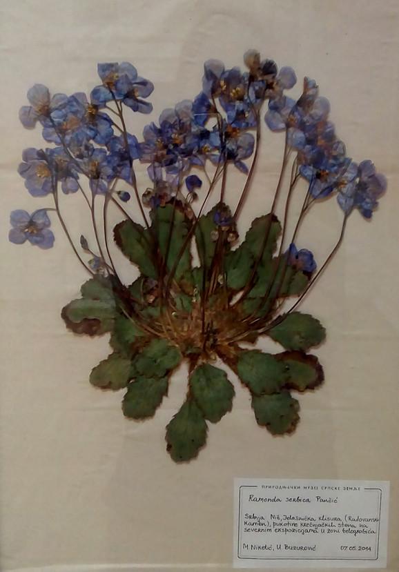 Ramonde su poznate i kao feniks biljke: Srpska ramonda