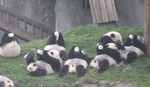 Mladunče pande putuje iz SAD u Kinu
