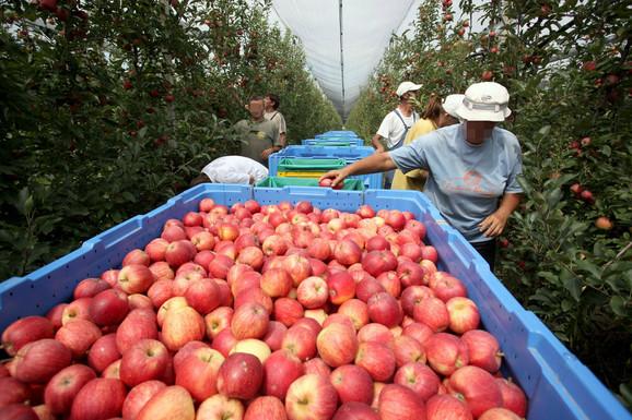 Radnici koji 20 dana beru jabuke mogu da zarade 40.000 dinara