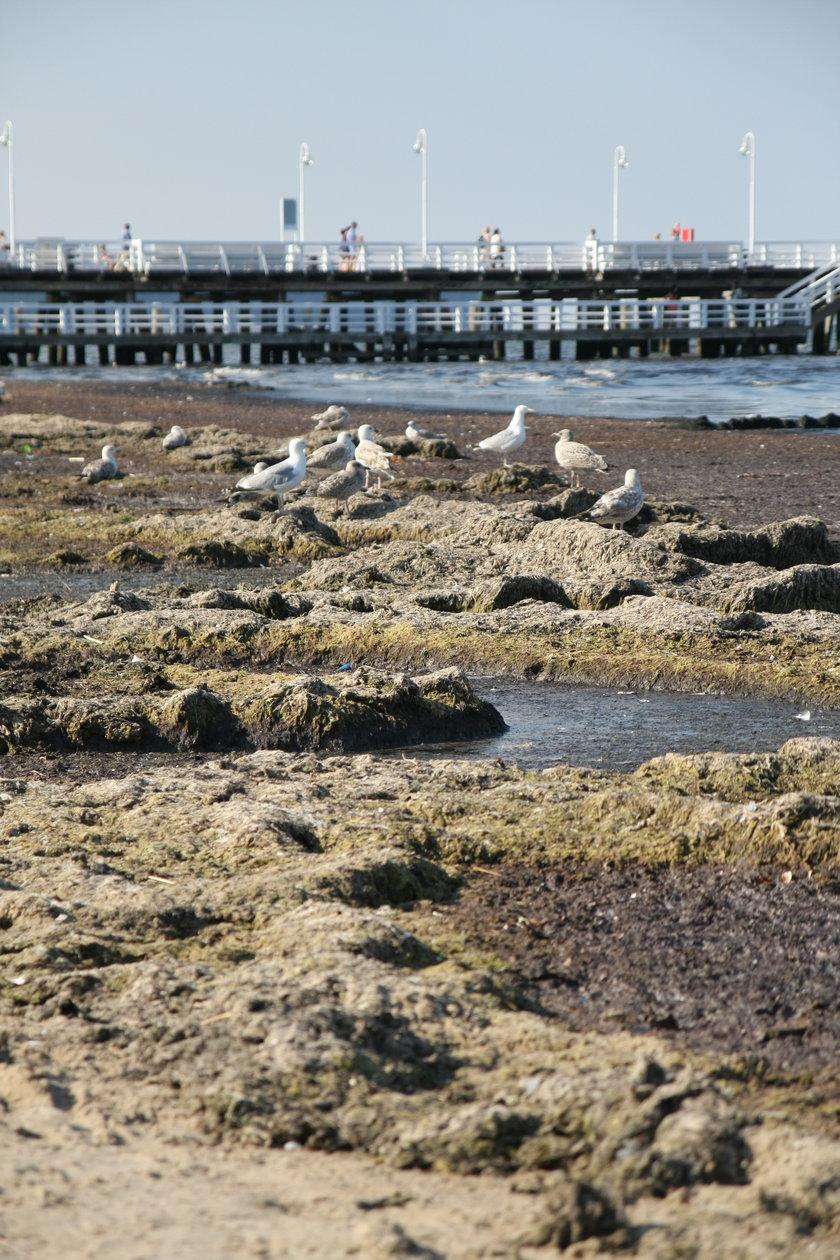 Na plaży w Sopocie pojawiły się wodorosty