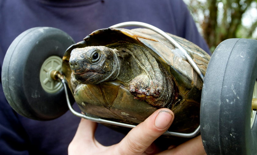 Pani T ,żółw bez nóg