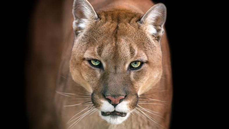 Puma Uciekła Z Prywatnego Zoo Pod Pragą Podróże