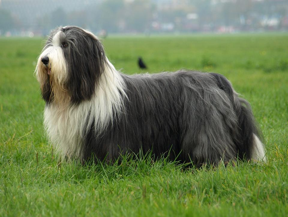 4. Bearded Collie