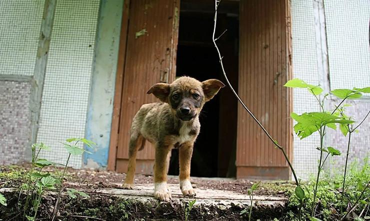 cernobilj psi
