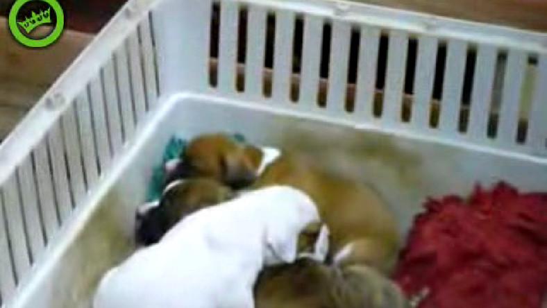 Jak uśpić stadko szczeniaków