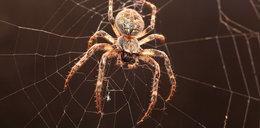 Zobacz zapachy, których boją się pająki