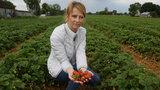 Truskawkowy horror w Polsce! Plantatorzy załamani