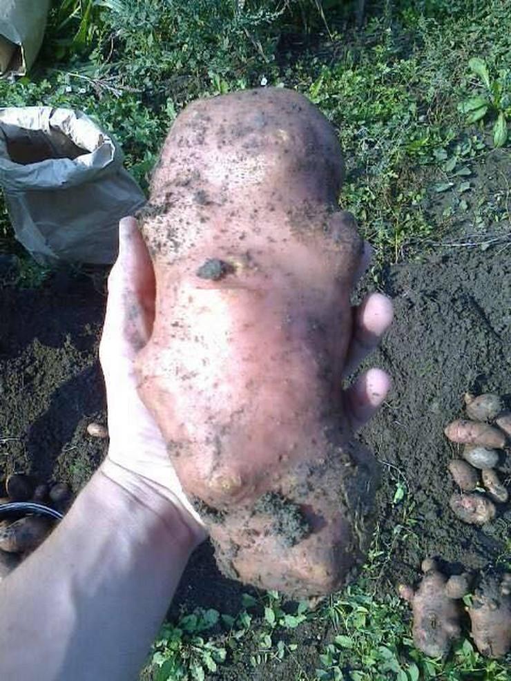 krompir teži od kilogram