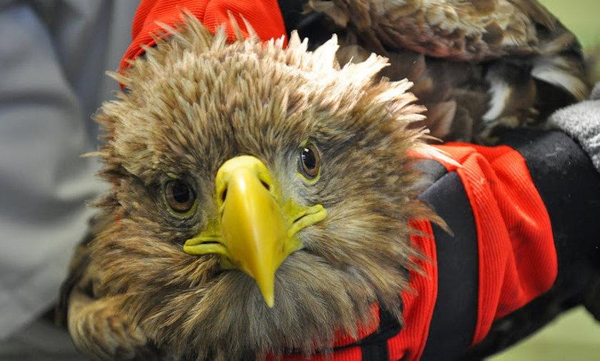 Lekarze uratowali orła bielika.