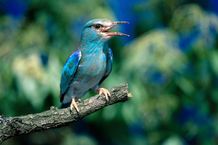 Modrovrana