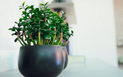 Drzewko Szczęścia Co To Za Roślina I Jak Ją Pielęgnować