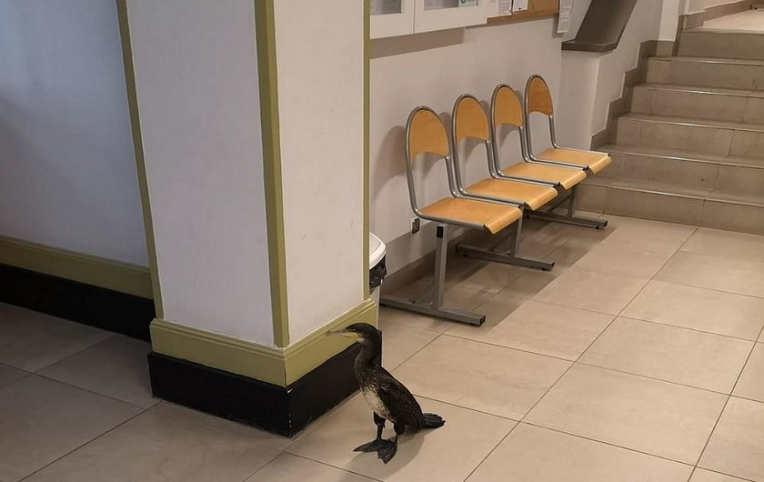 Ranny kormoran przydreptał do szpitala w Gdańsku. Miał ważny powód