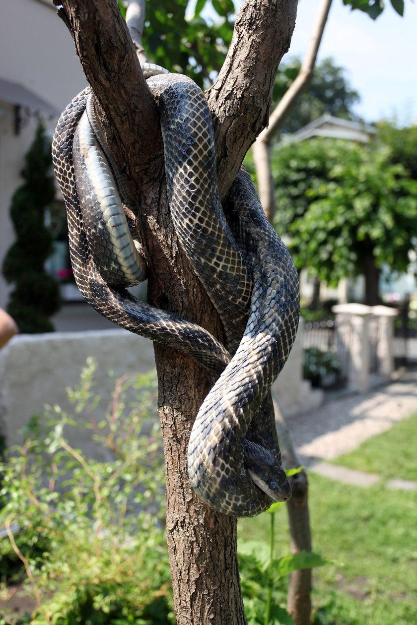 Wąż przestraszył sąsiadkę