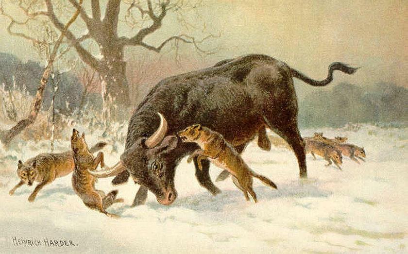 Szukał poroża jelenia, znalazłem róg tura