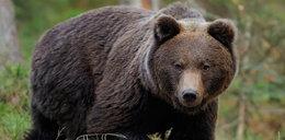 Horror pod namiotami. Niedźwiedź pogryzł śpiącego 13-latka