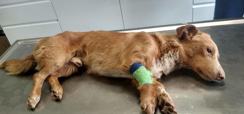 Bestialstwo! Psy zakopane żywcem. Uratowano tylko jednego szczeniaka FILM Z INTERWENCJI
