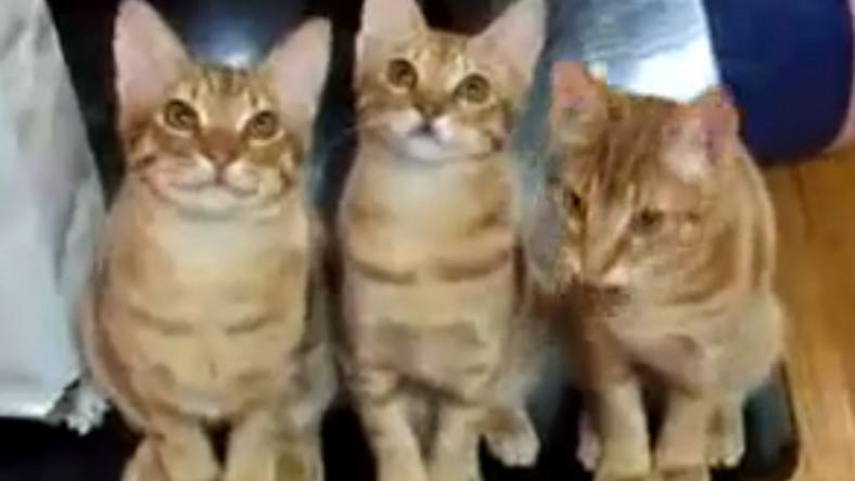 Koty oglądają mecz tenisa