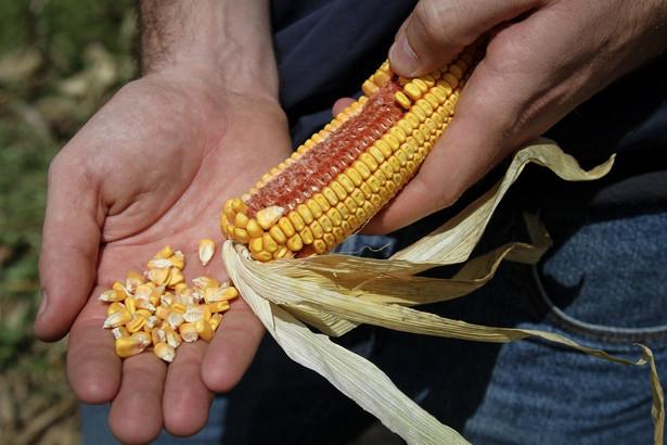Kukurydza, rolnictwo