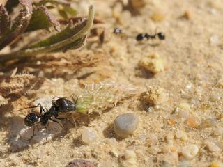 Major worker of European Harvester Ant (Messor sp.) dragging a small Plantain flowerhead towards its
