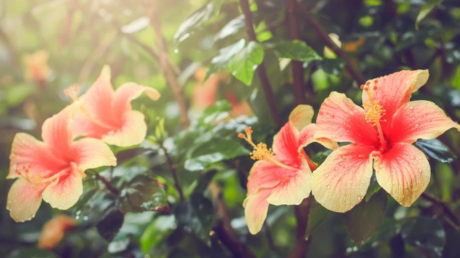 Hibiskus rosa to bardzo efektowna roślina doniczkowa - Mary's/stock.adobe.com