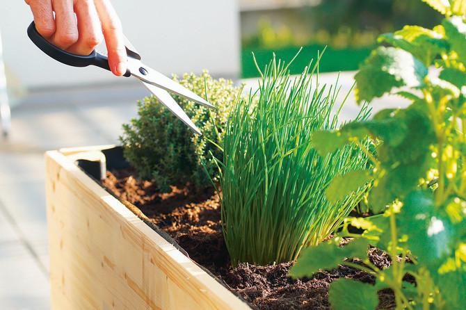 Zasadite začinsko bilje, da miriše i na stolu i u saksiji