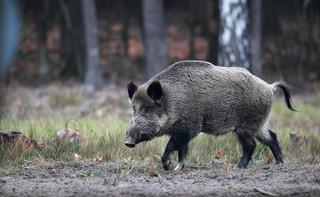 Prawie wszystkie dziki w Polsce mają zostać wybite. Naukowcy: odstrzał dzików nie zatrzyma rozprzestrzeniania się ASF