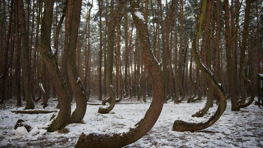 Drzewa w Krzywym Lesie koło Gryfina obumierają