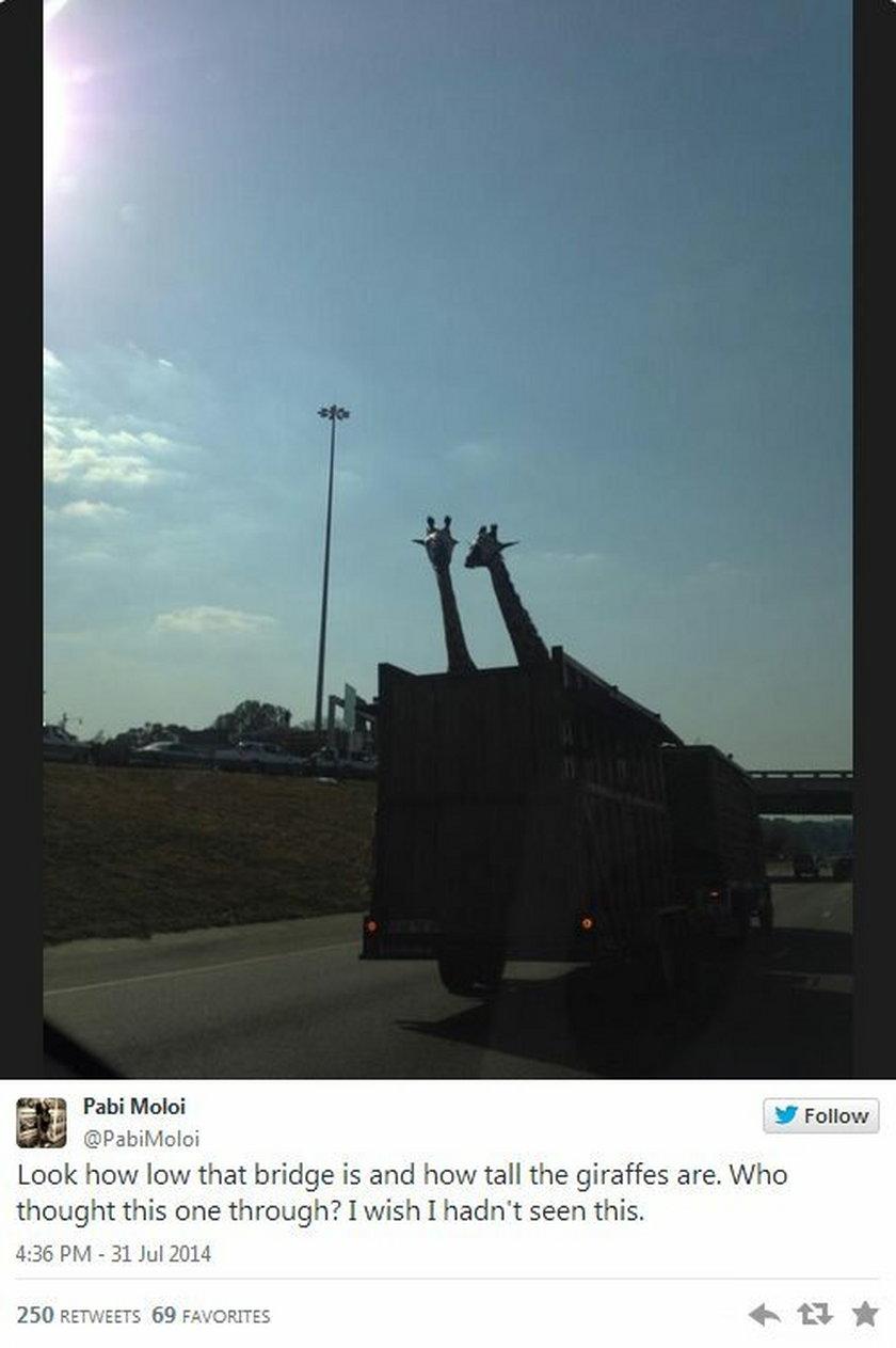 Przewoził żyrafy ciężarówką
