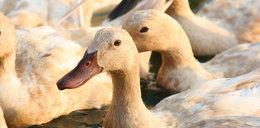 Zagłodził prawie 4 tys. kaczek. Rok więzienia dla hodowcy