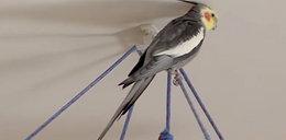 Ta papuga zna hymn Polski! Posłuchaj, jak śpiewa