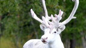 Szwecja: Turystka zobaczyła białego renifera. Jest piękny