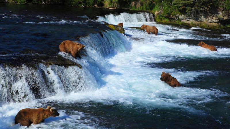 Nurt rzeki porwał małe niedźwiedzie. Zobacz, jak matka wyciągała je z wody