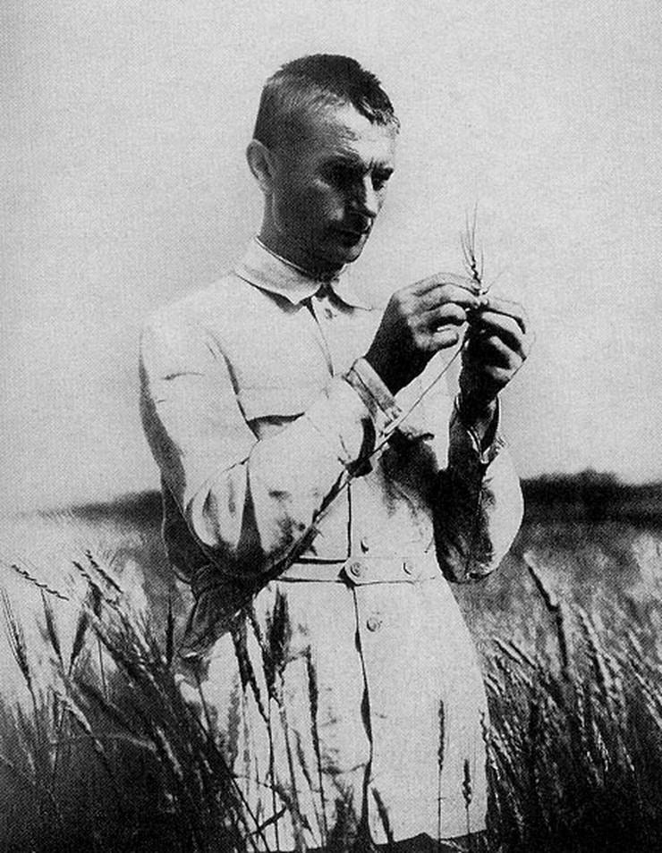 Lisenko sa pšenicom