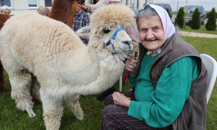 Pani Stanisława Jędruch (91 l.) bardzo lubi towarzystwo futrzastej alpaki
