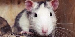 Dramat szczura Alfreda. Był księciem, skończył na śmietniku