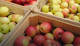 W tym roku będą mniejsze zbiory jabłek