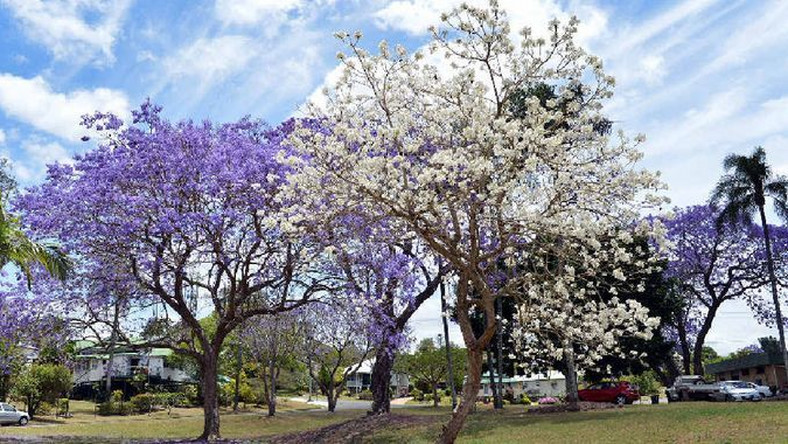 Africa's most beautiful street has a lovely display of purple and jacarandas (gympietimes)