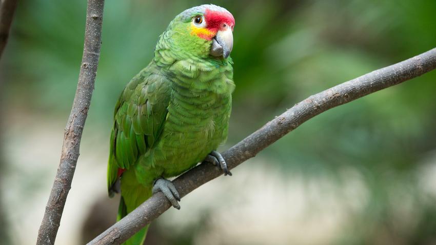 Znalezione obrazy dla zapytania Papuga