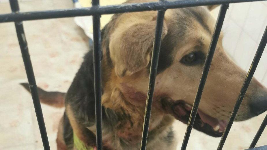 Pies, którego właścicielka ciągnęła za samochodem