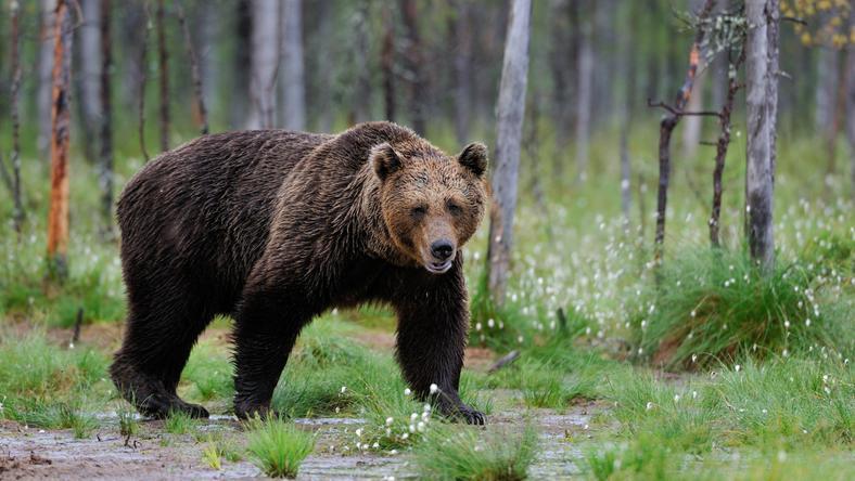 Bieszczady: niedźwiedź zaatakował człowieka; przegryzł mu dłoń