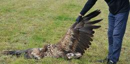 Kolejne ptaki padły ofiarą truciciela! Na tym samym polu